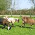 Common Dairy Goat Breeds