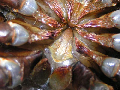 Horseshoe Crab - What I Learned Teaching with the Program Sea-to-See    Horseshoe Crab Gills