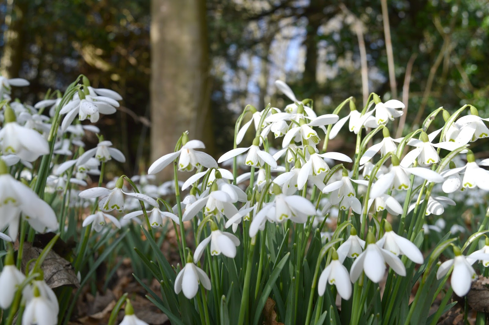 Snowdrop Splendour at Floors Castle, Kelso