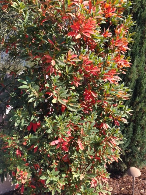 Xtremehorticulture Of The Desert Anese Blueberry With Orange Leaves A Sign Leaf
