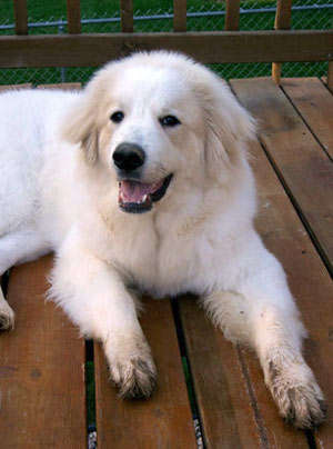 Breeds Great Pyrenees Dog