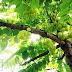 Phyllanthus acidus, czyli liściokwiat kwaśny