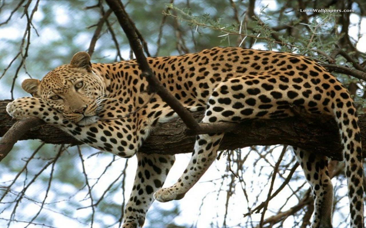ANIMAL WORLD TokTil: Animal World - All About Leopard ...