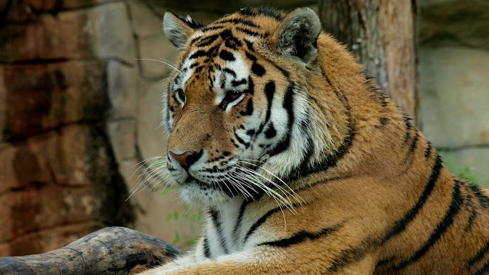 Wallpaper: Super Tiger at Zoo
