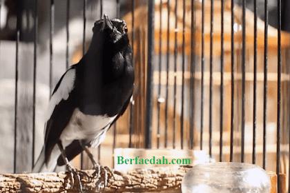 Inilah Penyebab dan Cara Mengatasi Burung Kacer Mbagong