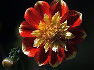 Bunga Dahlia cantik