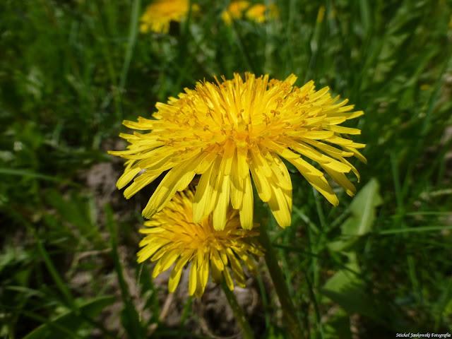 Kwiat Mlecz przyroda