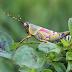 Klarifikasi dan info tentang serangga jenis belalang