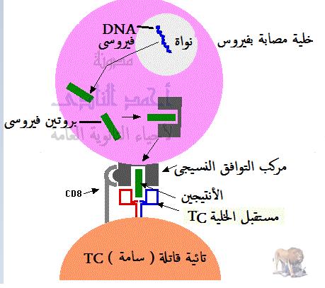 المناعة المكتسبة - المناعة الخلوية - إرتباط التائية السامة أو القاتلة بالمصابة - السيتوكينين