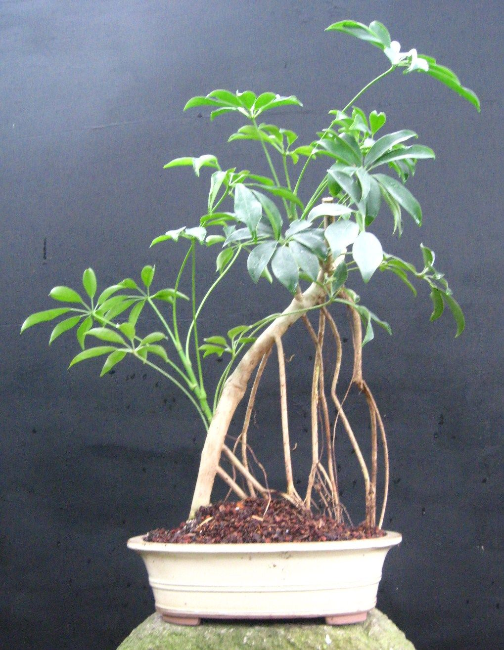 Bonsai Beginnings Hawaiian Schefflera Umbrella Tree