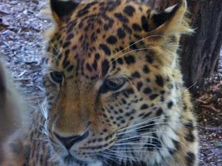leopard de Amur