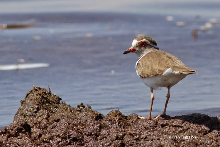 African three banded plover