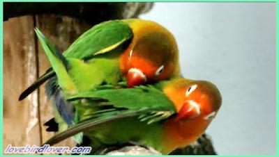 masih banyak pemula yang tidak faham cara efektif dalam menaikan birahi pada lovebird yang Sukses Dalam Burung Lovebird Cara Menaikan Birahi Lovebird