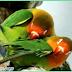 Cara Menaikan Birahi Lovebird