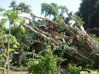 Beringin Berusia 30 Tahun Tumbang Lalu Timpa 2 Rumah di Bungkal