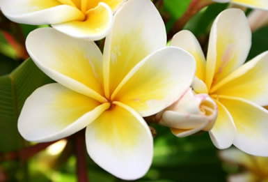 Tropical Flowers Wallpapers