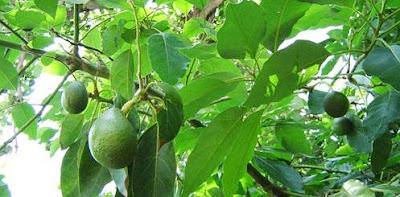 khasiat daun alpukat