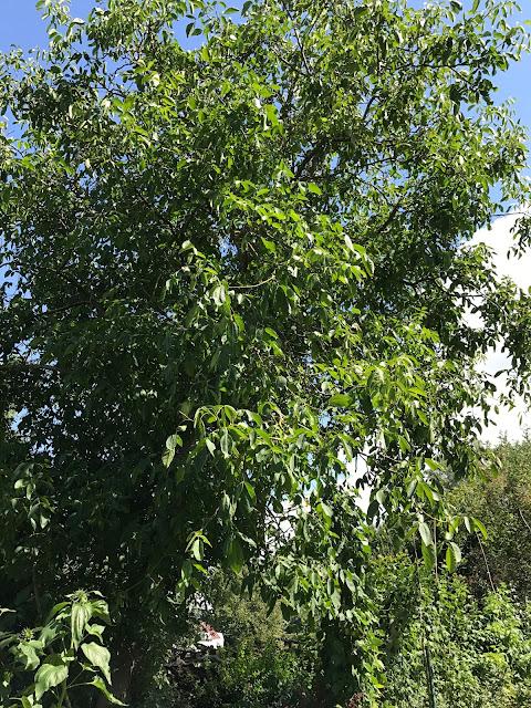 der andere Walnußbaum ist grüner und dichter belaubt (c) by Joachim Wenk