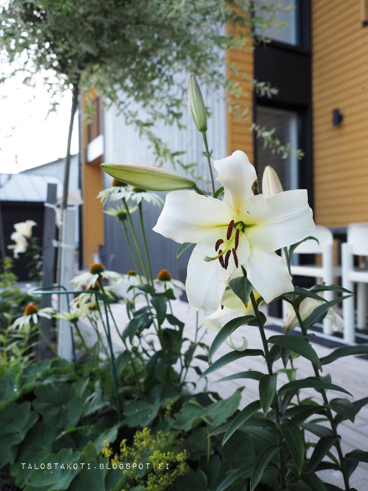 Lilja, liljankukka, piha, puutarha