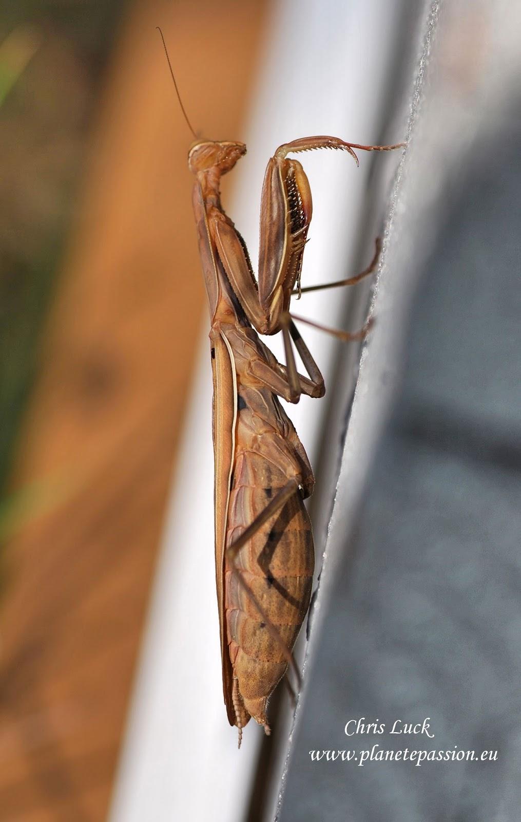 French Wildlife And Beekeeping Praying Mantis In France Mantis