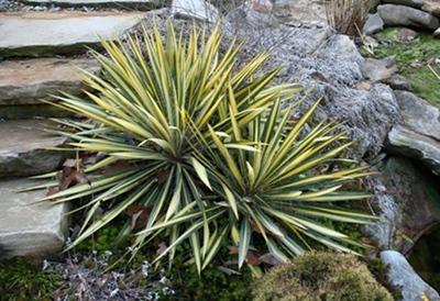 color guard yucca, yucca filamentosa