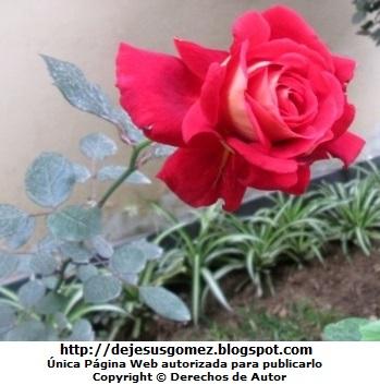 Foto de una rosa roja. Foto de rosa tomada por Jesus Gómez