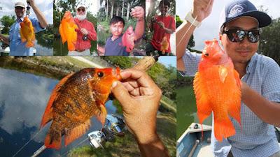ikan red devil yang berhasil dipancing