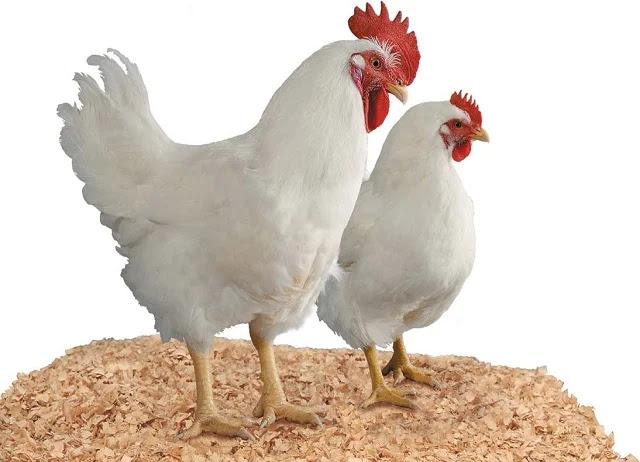 Harga-ayam-broiler-hari-ini