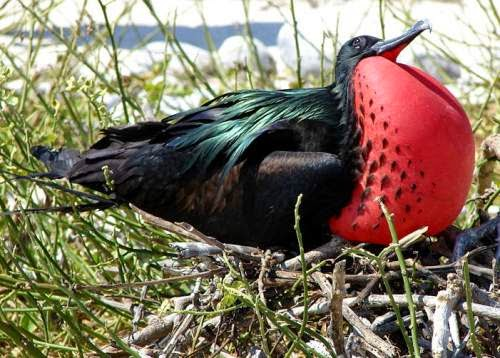 Indian birds - Great frigatebird - Fregata minor