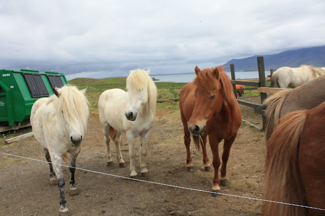 Icelandic horses on Videy Island