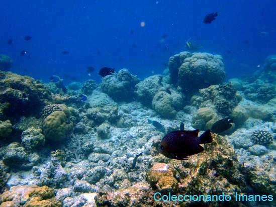 pez redondo pequeño: castañeta del índico