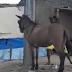Vídeo mostra homem golpeando mula a pauladas em Lagarto (SE)