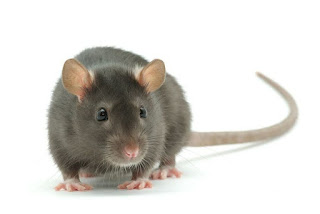 control-de-plagas-para-roedores