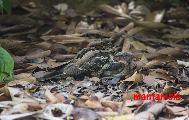 Large Tailed Nightjar