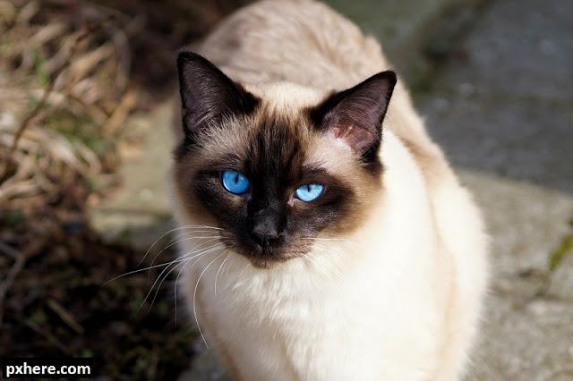Kucing Ras