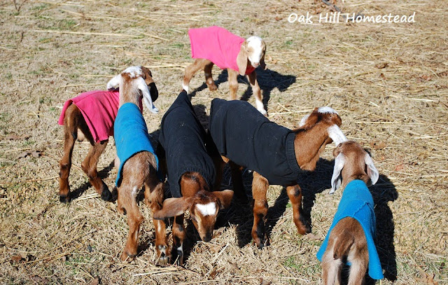 No-sew kids coats for your baby goats, simple to make from thrift-store sweat pants.