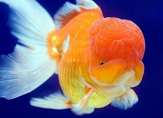 Masa Panen Ikan Mas Koki