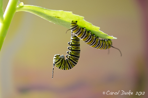 Glimpses of a Metamorphosis ~ Raising Monarch Butterflies ~ A Sneak Peek