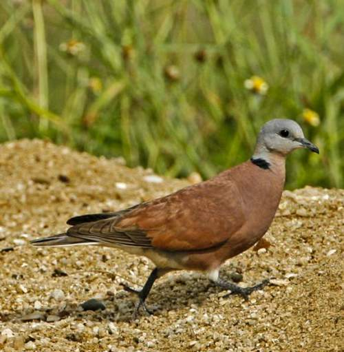 Indian birds - Image of Red turtle dove - Streptopelia tranquebarica