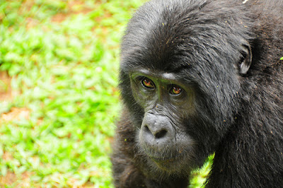 TIPS TO FOLLOW WHEN TREKKING GORILLAS IN UGANDA