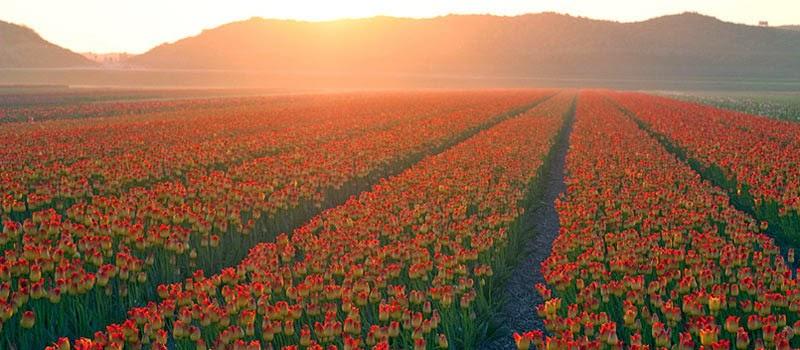 Tulipanes Holanda. Tulipomanía y museo-tulipan-amsterdam