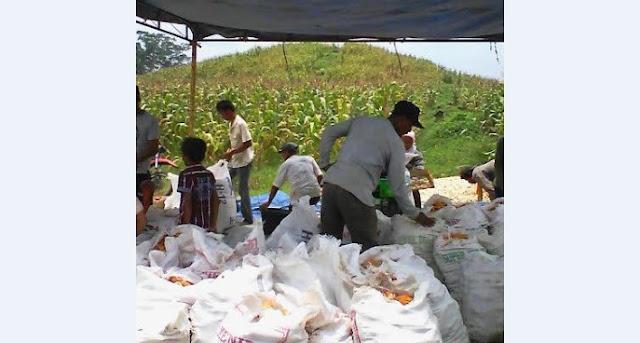 Babinsa Koramil 11/Simpang Empat Melaksankan Panen Jagung di Desa Teluk Dalam