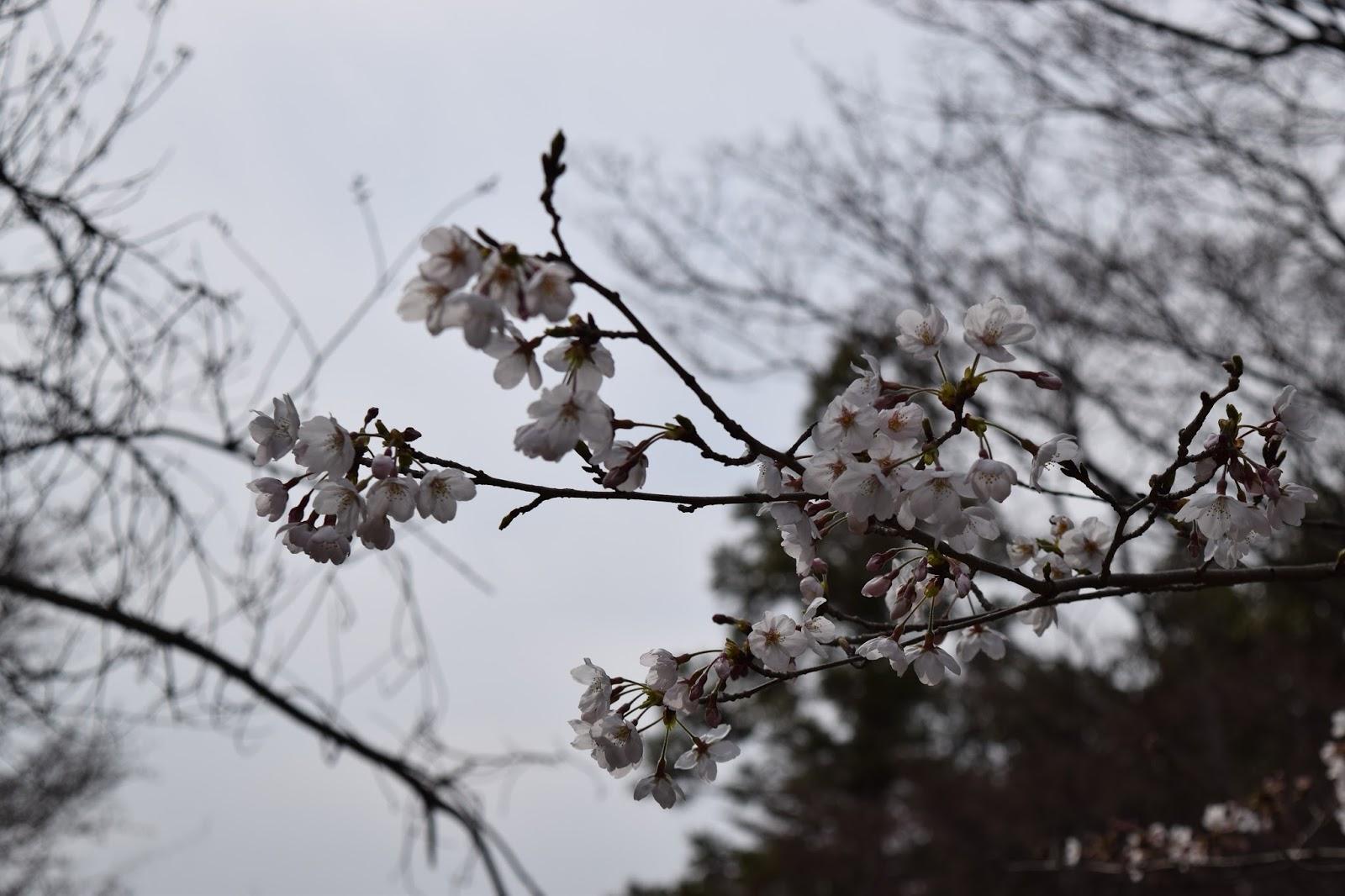 Sakura Maruyama Koen