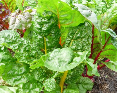 Bright Lights Chard