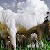 Laboratório do IB analisa 17 mil bovinos que serão exportados para o Egito