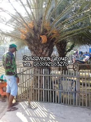 Jual Pohon Korma berbuah