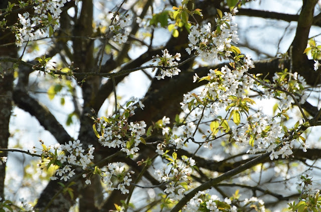 Les cerisiers se parent de 1000 fleurs