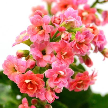 Tanaman Hias Daun Pink Kalanchoe