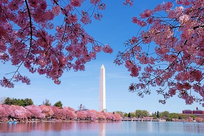 Cherry Blossom Festival, Keindahan Bunga Sakura di Amerika