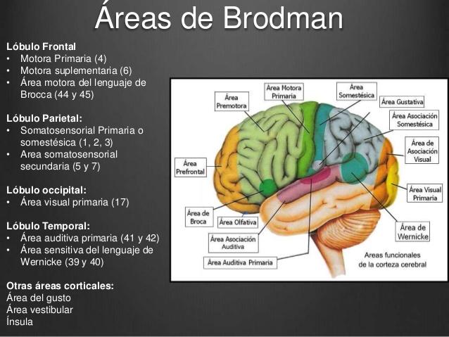 Informatica aplicada uny areas de brodman for Areas de cocina y sus funciones